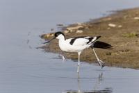 Germany, Schleswig Holstein, Avocet bird perching in water