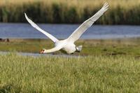 Germany, Schleswig Holstein, Mute swan bird  flying on grass