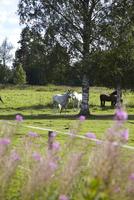 Sweden, Horses standing on grass