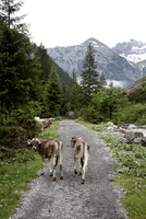 Austria, Cows on country road at alps