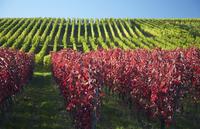 Germany, Baden-Wuerttemberg, Vineyards at Batzenberg