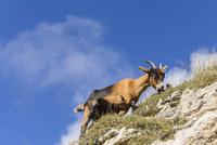 Spain, Cantabria, Picos de Europa National Park, Goat in the mountains