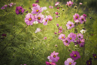 Blossoms of Mexican aster (Cosmos bipinnatus)