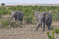 Africa, Kenya, African elephants eating grass at Maasai Mara National Reserve
