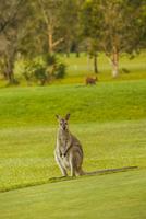 Australia, Hawks Nest, kangoroo (Macropus giganteus) on golf course