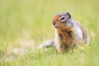 Canada, Alberta, Rocky Mountains, Jasper National Park, Banff Nationalpark, Columbian ground squirrel (Urocitellus columbianus)
