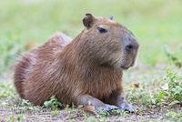 South America, Brasilia, Mato Grosso do Sul, Pantanal, Capybara, Hydrochoerus hydrochaeris