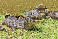 South America, Brasilia, Mato Grosso do Sul, Pantanal, Yacare caimans, Caiman yacare