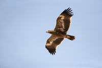 Oman, Flying steppe eagle