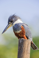 South America, Brasilia, Mato Grosso do Sul, Pantanal, Ringed Kingfisher, Megaceryle torquata