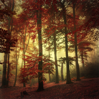 Beech forest in autumn colours