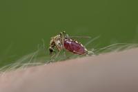 Biting mosquito, Culex pipiens, close-up 20025330940| 写真素材・ストックフォト・画像・イラスト素材|アマナイメージズ