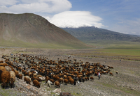 Turkey, Eastern Anatolia, Agri Province, Mount Ararat, Herd of sheep
