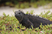 Oceania, Galapagos Islands, Santa Cruz, marine Iguana, Amblyrhynchus cristatus, sitting in grass