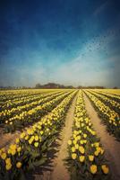 Yellow tulip field, alienation