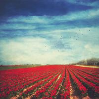 Red tulip field, alienation
