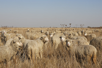 Rumania, Transylvania, Salaj County, flock of sheep, Ovis orientalis aries