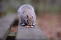 Grey squirrel, Sciurus carolinensis, on wooden bench testing peanuts