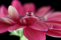 Water drop with reflection on petal of pink gerbera, Asteraceae, close-up