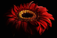 Wet red gerbera, Asteraceae, in front of black background