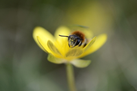 Miner bee, Andrena, on yellow blossom
