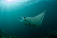 Oceania, Micronesia, Yap, Reef manta ray, Manta alfredi