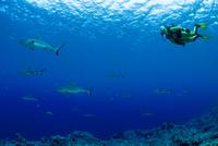 Oceania, Micronesia, Yap, Diver with grey reef sharks, Carcharhinus amblyrhynchos 20025331160| 写真素材・ストックフォト・画像・イラスト素材|アマナイメージズ