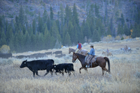 USA, Wyoming, Big Horn Mountains,  cowboys and cowgirls herding cattles in open range