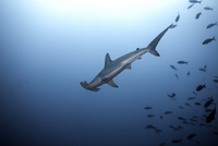 Costa Rica, Scalloped hammerhead shark, Sphyrna lewini