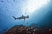Costa Rica, Cocos Island, scalloped hammerhead and school of yellowtail snappers