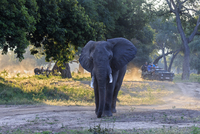Africa, Zimbabwe, Mana Pools National Park, tusker with tourists on jeeps in the background