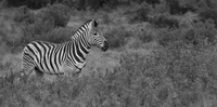 South Africa, Addo Elephant National Park, zebra 20025331572| 写真素材・ストックフォト・画像・イラスト素材|アマナイメージズ