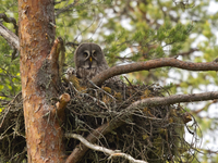 Great grey owl, Strix nebulosa, with chick in nest