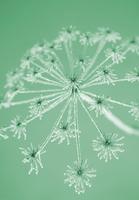 Hogweed, Heracleum sphondylium
