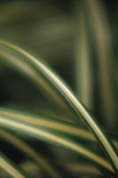 Spider plant, Chlorophytum comosum Variegatum