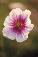 Cosmos bipinnatus 'Daydream', Cosmos