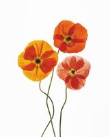 Icelandic poppy, Papaver croceum, Papaver nudicale, Poppy