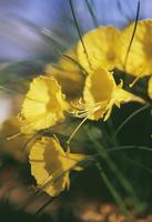 Daffodil, Narcissus bulbicodium, Petticoat daffodil