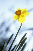 Narcissus 'Barrett Browning', Daffodil