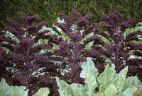 Kale, Brassica oleracea acephala