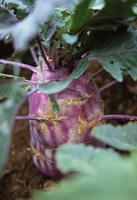 Kohlrabi, Brassica oleracea gongylodes