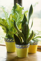 Sansevieria trifasciata, Mother in laws tongue