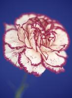Dianthus, Carnation 20025332928| 写真素材・ストックフォト・画像・イラスト素材|アマナイメージズ