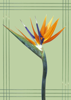 Strelitzia, Bird of paradise