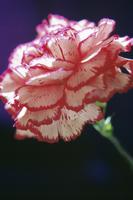 Dianthus, Carnation 20025333301| 写真素材・ストックフォト・画像・イラスト素材|アマナイメージズ