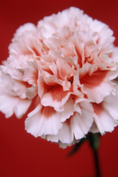 Dianthus, Carnation
