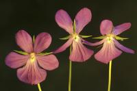 Viola 20025333367| 写真素材・ストックフォト・画像・イラスト素材|アマナイメージズ