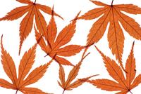Japanese maple, Acer palmatum dissectum atropurpureum 20025333374| 写真素材・ストックフォト・画像・イラスト素材|アマナイメージズ
