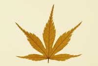 Japanese maple, Acer palmatum dissectum atropurpureum 20025333375| 写真素材・ストックフォト・画像・イラスト素材|アマナイメージズ