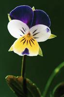 Viola tricolor, Heartsease 20025333490| 写真素材・ストックフォト・画像・イラスト素材|アマナイメージズ
